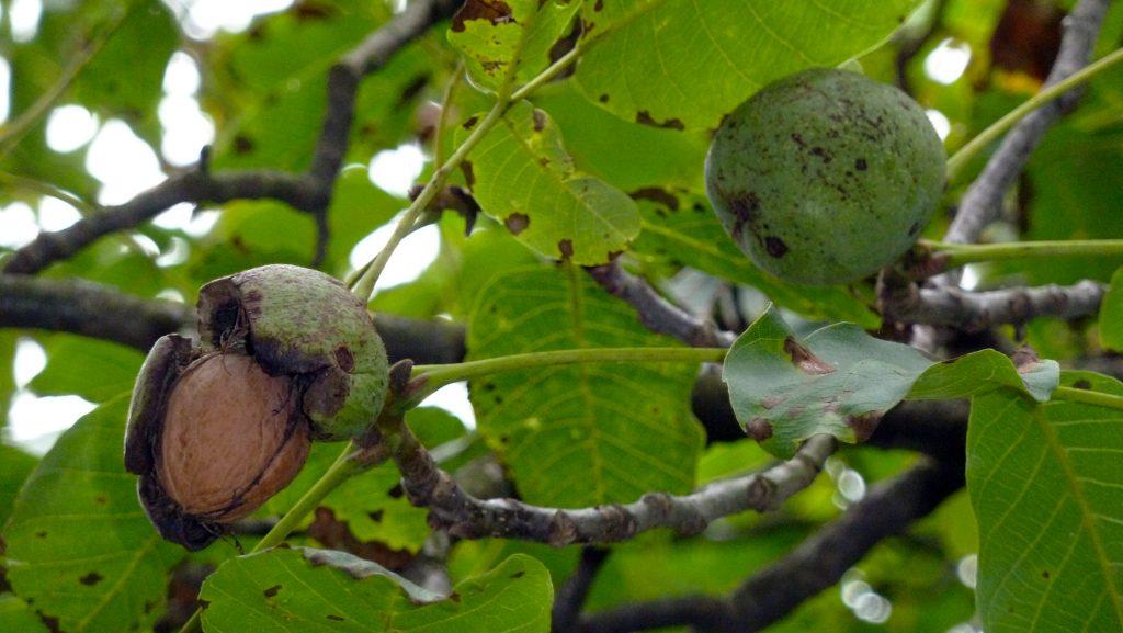 Kreeka pähklid. Walnuts