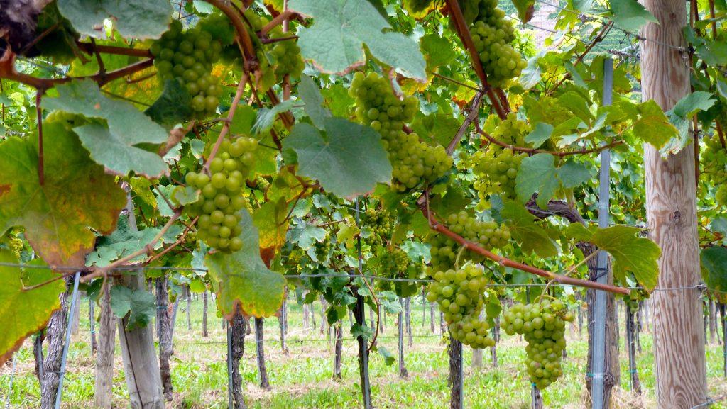 Küpsed viinamarjad. Ripe grapes